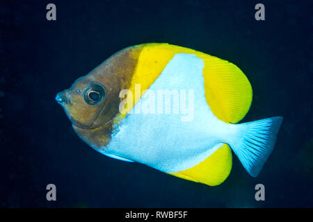 Pyramid butterflyfish [Hemitaurichthys polylepis}.  North Sulawesi, Indonesia. - Stock Photo