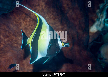 Moorish idol [Zanclus cornutus].  North Sulawesi, Indonesia. - Stock Photo