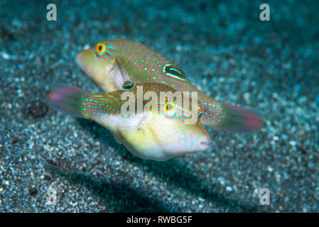 Bennets's toby, Bennet's sharpnose puffer [Canthigaster bennetti].  North Sulawesi, Indonesia.