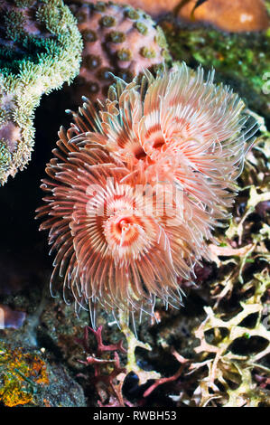Magnificent tube worm (Protula magnifica).  Serpulid.  Constructs calcareous tube of up to a foot in length and a centimeter in diameter.  One of the  - Stock Photo