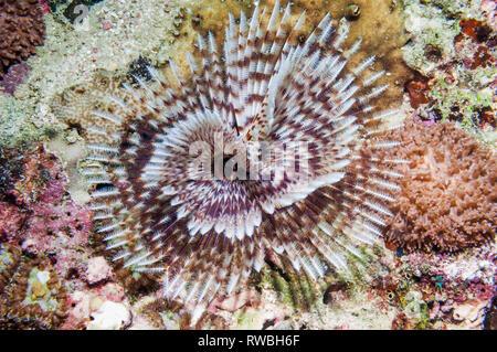 Feather duster worm [Bispira sp.].  Puerto Valera, Philppines. - Stock Photo