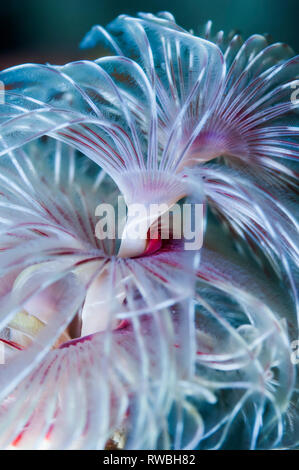 Magnificent feather duster worm [Protula magnifica].  Puerto Galera, Philippines. - Stock Photo