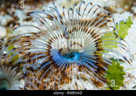 Fan worm [Sabella sp.].  Puerta Galera, Philippines. - Stock Photo