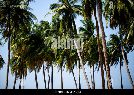 Coconut trees swaying in the wind on Ross Island part of the Andaman and Nicobar Islands of India - Stock Photo