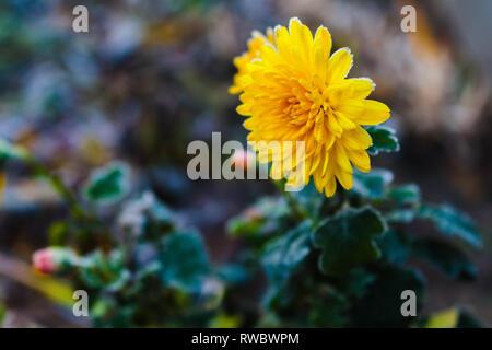 Frozen chrysanthemum yellow flower. Flower of chrysanthemum with frozen buds on green background. Chrysanthemum inflorenscence in Krivoy Rog, Ukraine - Stock Photo