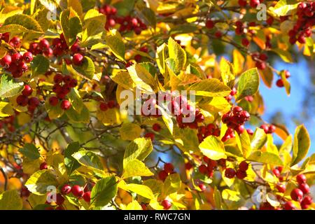 Schleswig, Deutschland. 11th Oct, 2018. Detail of a autumn-colored cockerel hawthorn tree (Crataegus crus-galli) in Schleswig. Family: rose plants (Rosaceae), subfamily: Spiraeoideae, tribe: pyreae, sub-tribe: pome fruit (Pyrinae), genus: hawthorn (Crataegus), species: hawthorn hawthorn | usage worldwide Credit: dpa/Alamy Live News - Stock Photo