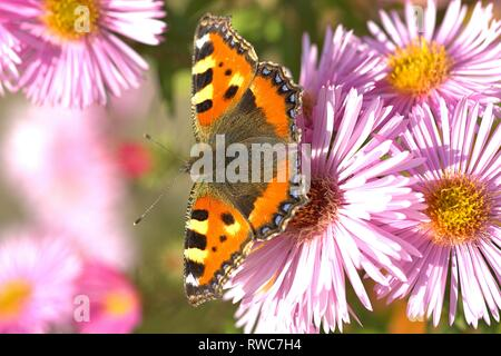 Schleswig, Deutschland. 11th Oct, 2018. A small fox (Aglais urticae, syn .: Nymphalis urticae), a butterfly of the family Nymphalidae in the best autumn weather on the blood of an aster in Furstengarten in Schleswig. Class: Insects (Insecta), Order: Butterflies (Lepidoptera), Family: Nymphalidae, Subfamily: Spotted Butterfly (Nymphalinae), Genus: Aglais, Species: Small Fox   usage worldwide Credit: dpa/Alamy Live News - Stock Photo