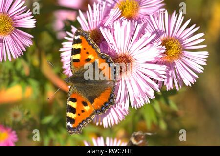 Schleswig, Deutschland. 11th Oct, 2018. A small fox (Aglais urticae, syn .: Nymphalis urticae), a butterfly of the family Nymphalidae in the best autumn weather on the blood of an aster in Furstengarten in Schleswig. Class: Insects (Insecta), Order: Butterflies (Lepidoptera), Family: Nymphalidae, Subfamily: Spotted Butterfly (Nymphalinae), Genus: Aglais, Species: Small Fox | usage worldwide Credit: dpa/Alamy Live News - Stock Photo
