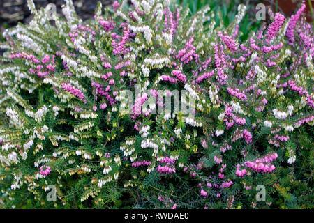 Winter flowering evergreen Heather Erica carnea 'Nathalie' - Stock Photo