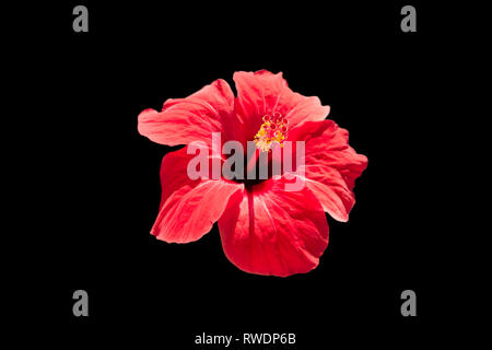 Single red hibiscus flower head, inflorescence, showing Pistil, close up, isolated black background.  Exotic flower glowing red. - Stock Photo