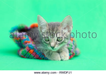 Tabby kitten Inside colorful green striped snow hat, green background. - Stock Photo
