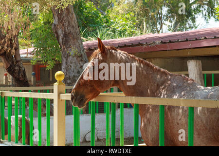 Portrait of brown-white horse in outdoor stables in summer - Stock Photo