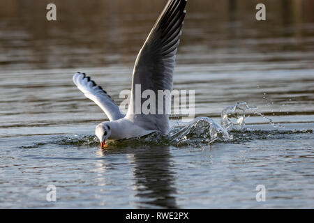 Seagull diving into lake water for food bread - Stock Photo