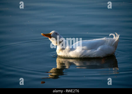 Heavy white ducks, American Pekin Duck also known as Aylesbury Duck shaking his head and feathers - Stock Photo