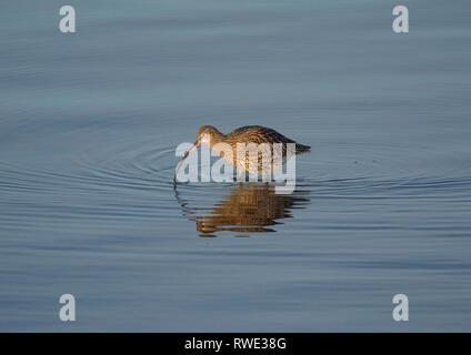 Curlew, Numenius arquata, feeding in shallow water, Morecambe Bay, Lancashire, UK - Stock Photo