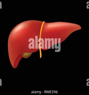 Realistic human liver isolated on black background. - Stock Photo