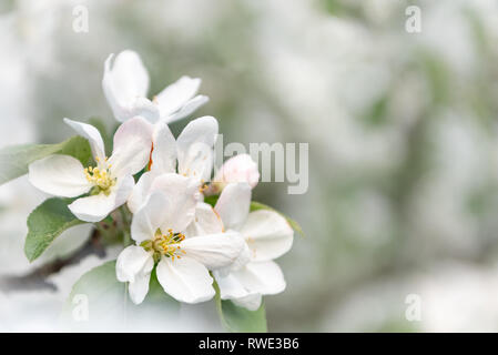 Apple tree blossom in spring in front of blurred background. White pink buds and flowers on the branch - Stock Photo