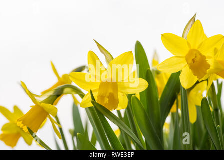 Daffodils flower in spring in front of white background - Stock Photo