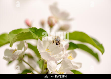 Honey bee is collecting pollen on a blossoming apple tree against isolated on white - Stock Photo