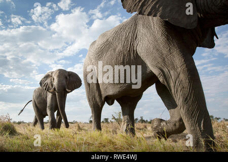 An abstract image from a low angle of elephants as they walk from Hwange national Park to Chobe National Park, Botswana. - Stock Photo