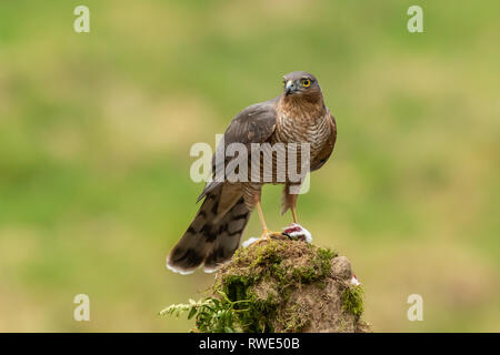 Female sparrowhawk (Accipiter nisus) sitting on a tree stump with prey in her talons - Stock Photo