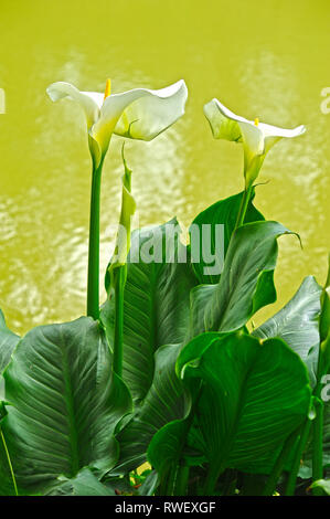 Arum or Calla Lilies, Zantedeschia aethiopica, Astaffort, Lot-et-Garonne Department, Aquitaine, France - Stock Photo