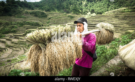 Filipino man carrying Dried Rice Harvest on Stick - Maligcong, Mountain Province, Philippines - Stock Photo