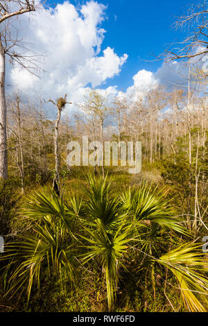 Big white clouds in blue sky behind Cypress trees at Kirby Storter Roadside Park in Big Cypress National Preserve on Tamiami Trail in southern Florida - Stock Photo