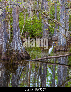 Cypress trees in swamp in Sweetwater Slough on Loop Road in Big Cypress National Preserve in Florida - Stock Photo