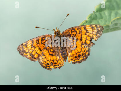 Mylitta Crescent Phyciodes mylitta butterfly with wings spread open, top view, on a green background - Stock Photo