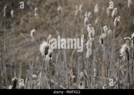 field of bullrushes in the nature reserve Rheindelta, Austira - Stock Photo