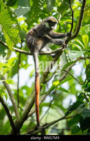 Red-tailed monkey, Cercopithecus ascanius, Kibale Forest National Park, Uganda - Stock Photo