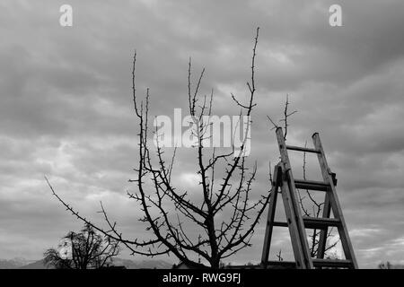 fruit tree pruning - wintercut - Stock Photo