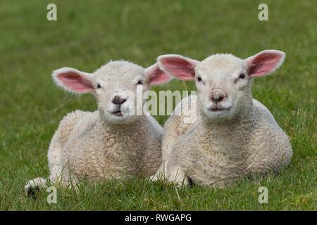 Domestic Sheep. Two lambs lying on a meadow. Germany - Stock Photo