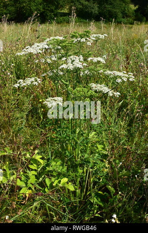 Common Hogweed (Heracleum sphondylium), Plant flowering on a meadow. Germany - Stock Photo