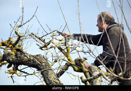 RESEN, MACEDONIA. MARCH 3, 2019- Farmer pruning apple tree in orchard in Resen, Prespa, Macedonia. Prespa is well known region in Macedonia on produci - Stock Photo