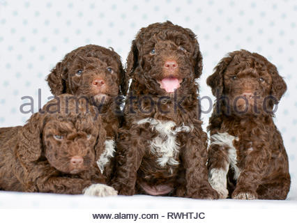 Lagotto Romagnolo. Four puppies (5 weeks old) sitting and lying next to each other. Studio picture. Germany - Stock Photo