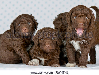 Lagotto Romagnolo. Four puppies (5 weeks old) sitting, lying, and standing. Studio picture. Germany - Stock Photo