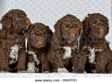 Lagotto Romagnolo. Four puppies (5 weeks old) sitting next to each other. Studio picture. Germany - Stock Photo