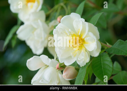 botany, blossom of a rambler rose, Caution! For Greetingcard-Use / Postcard-Use In German Speaking Countries Certain Restrictions May Apply - Stock Photo