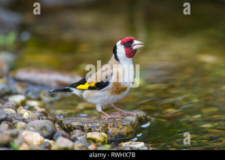 European Goldfinch (Carduelis carduelis). Adult drinking. Germany - Stock Photo
