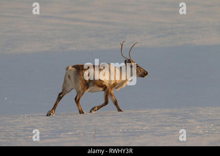Reindeer (Rangifer tarandus). Adult trotting in snowy landscape. Iceland - Stock Photo
