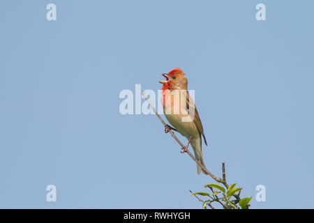 Common Rosefinch (Carpodacus erythrinus), male in song. Germany - Stock Photo