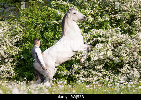 Pure Spanish Horse, Andalusian. Blind gelding rearing on a flowering meadow, next to its rider and owner Sandro Huerzeler. Switzerland - Stock Photo