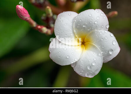 botany, plumeria blossom magnetotellurics wa, Caution! For Greetingcard-Use / Postcard-Use In German Speaking Countries Certain Restrictions May Apply - Stock Photo