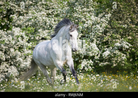 Pure Spanish Horse, Andalusian. Blind gelding galloping on a flowering meadow. Switzerland - Stock Photo