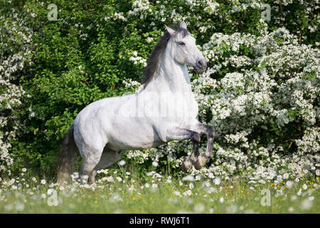 Pure Spanish Horse, Andalusian. Blind gelding rearing on a flowering meadow. Switzerland - Stock Photo