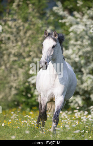 Pure Spanish Horse, Andalusian. Blind gelding walking on a flowering meadow. Switzerland - Stock Photo