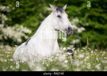 Pure Spanish Horse, Andalusian. Blind gelding lying on a flowering meadow. Switzerland - Stock Photo