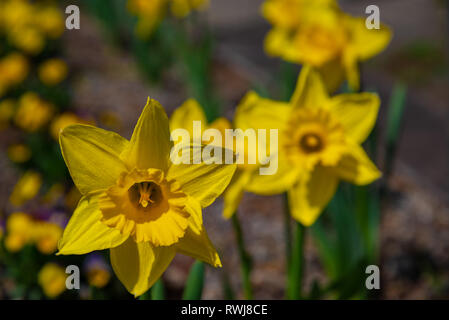 Narcissus in Spring. Blooming daffodils, Spring bulbs. Narcissus is a genus of predominantly spring perennial plants of the Amaryllidaceae (amaryllis) - Stock Photo